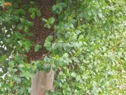Swarm of bees1