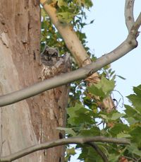 Great horned owls 1