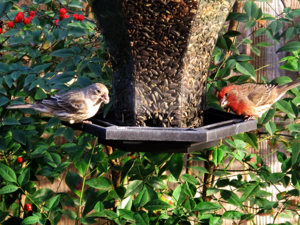 Common-housefinch